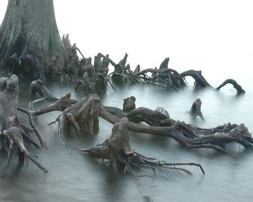 Những thân cây rùng rợn nhất thế giới - 5