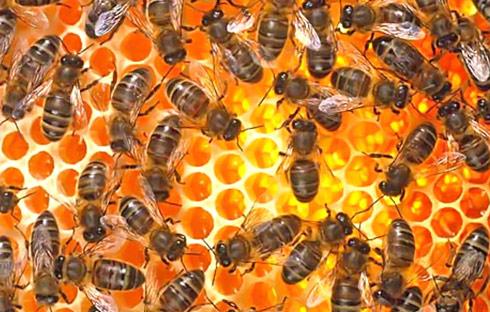 Mật ong nguyên chất và tác dụng với sức khỏe | Mật ong,Tác dụng của mật ong,Mật ông chữa bệnh dạ dày