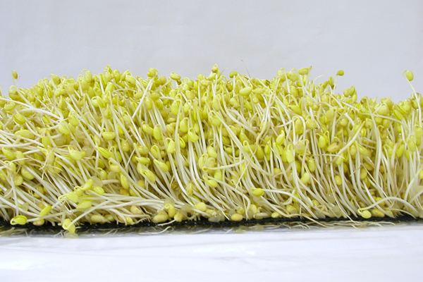 Soybean sprouts 1219