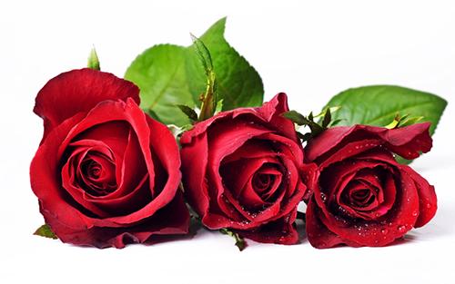 Quyền năng của hoa hồng